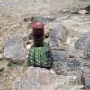 asiento de suegra cactus in Chaparrí