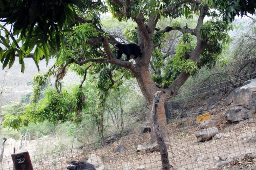 A spectacled bear in a tree at Chaparrí