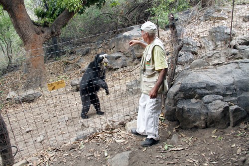 A spectacled bear being fed a mango