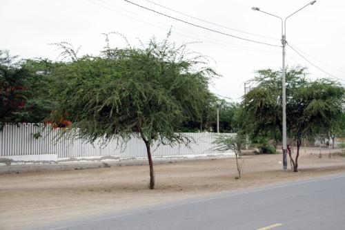 algarrobo tree
